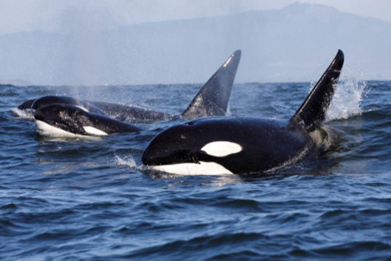 L'orque serait en réalité le vrai patron des océans.