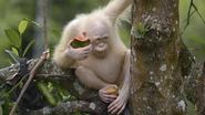 Enige albino orang-oetan ter wereld grof wild voor stropers, dus krijgt ze privé-eiland