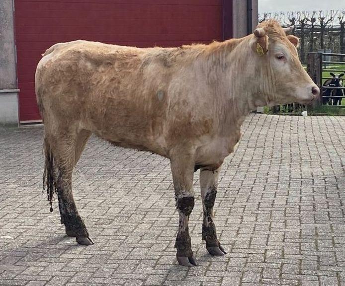 Deze koe heeft de politie zaterdag flink beziggehouden.