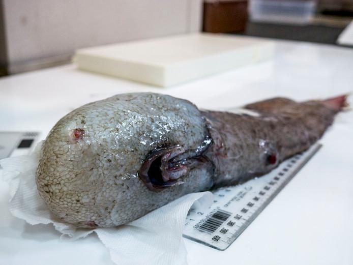 De gezichtsloze vis, zonder zichtbare neus en zonder ogen.