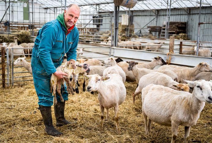 Het kost Martin Oosthoek elk jaar bakken met geld om zijn schapen te laten scheren. Mogelijk kan de wol in de toekomst worden gebruikt om woningen te isoleren.