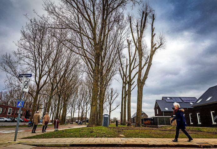 De populieren langs de Dubbelsteynlaan in Dordrecht. De bomen rechts zijn al gekandelabeerd.