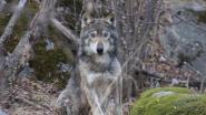 """""""Ik zal je nooit vergeten"""": vrouw neemt uitgemergelde wolf mee naar haar garage"""