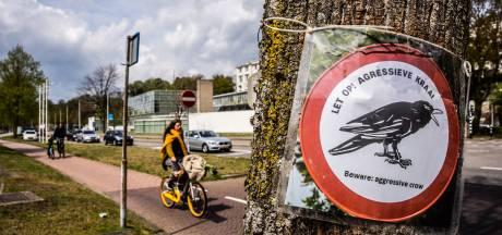 Agressieve kraaien zitten passanten op de kop in Arnhem. 'Ik was er echt ontdaan van'