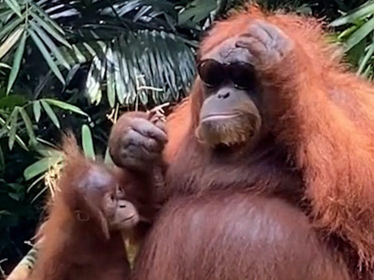 Orang-oetan poseert met zonnebril van toerist, gooit bril daarna terug
