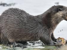 De otter is hartstikke welkom in de Biesbosch, maar hoe komt -ie daar?