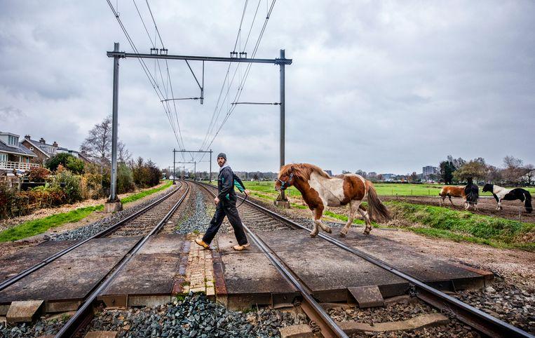 Op het boerenbedrijf van Wouter Hartendorf wordt tientallen keren per dag de onbewaakte overgang in Santpoort-Zuid overgestoken met paarden. Beeld Raymond Rutting / de Volkskrant