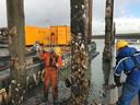 Marco van Burg (r) en Levi Winnik steken de dikke laag oesters van de palen.
