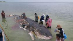 6kg plastic in maag van aangespoelde walvis