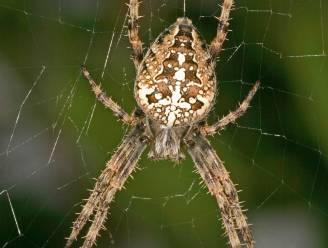 """Schrik van spinnen? Tel ze en breng UGent op de hoogte: """"We weten eigenlijk niet of spinnen het goed doen in de stad"""""""