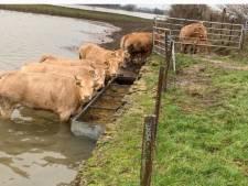 Politie roept op: 'Let extra op uw vee vanwege hoogwater'