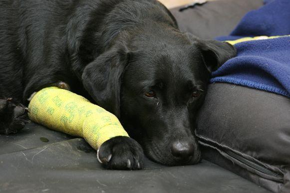 Vooral aan de poten raakte Jonna zwaargewond.