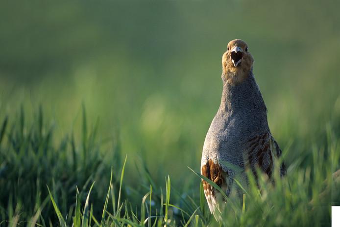 De patrijs. Verschillende boeren in Ooijpolder en Groesbeek willen de bedreigde vogel helpen.
