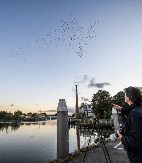 Schitterende beelden: dansende spreeuwen geven spectaculaire luchtshow weg