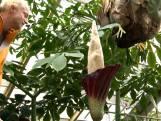 Penisplant trekt bezoekers massaal naar Hortus Botanicus
