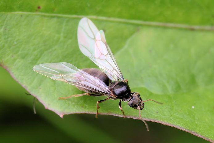 Een gevleugelde koningin van de wegmier, vlak voor het uitvliegen.