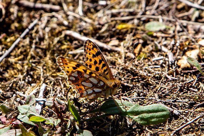 De kleine parelmoervlinder heeft na tientallen jaren zijn opmars gemaakt landinwaarts. Woensdagmiddag trof boswachter Jos Schouten, van Natuurmonumenten, de zeldzame vlinder tijdens een wandeling.