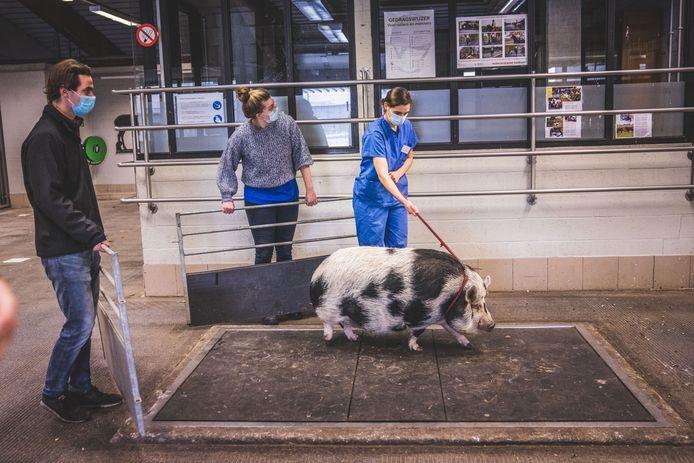 Het dier wordt nog even gewogen voor het mag vertrekken. Uiteindelijk blijkt dat het varken 140 kilo weegt en geen 100 kilo zoals gezegd.