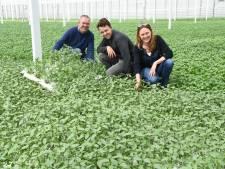 Van Thaise basilicum tot citroenverbena: dit bedrijf uit Etten-Leur teelt dertig soorten kruiden