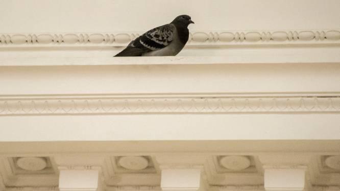 Brussels parlementslid wil vangen van duiven halt toeroepen