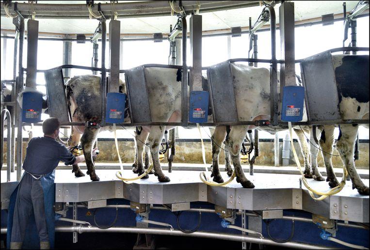 Een gemiddelde Nederlandse veehouder zou jaarlijks 3.000 euro minder overgemaakt krijgen vanuit Brussel.  Beeld Flip Franssen/ANP