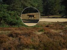 Vier wolven gespot in drie maanden tijd