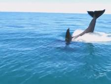 Spelende orka's verzamelen zich rond jetskiërs