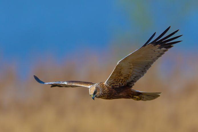 De kiekendief is vooral in de Westhoek te zien.