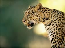 Des léopards s'échappent d'un zoo et sèment la panique en Chine