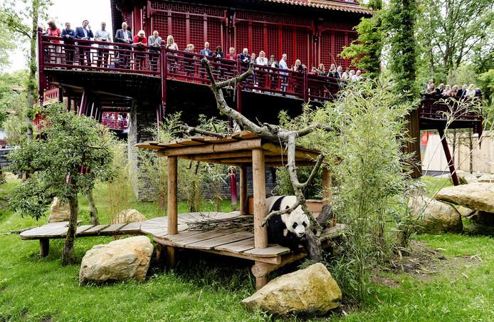 Panda Xing Ya tijdens de officiële opening van het reuzenpandaverblijf Pandasia in Ouwehands Dierenpark.