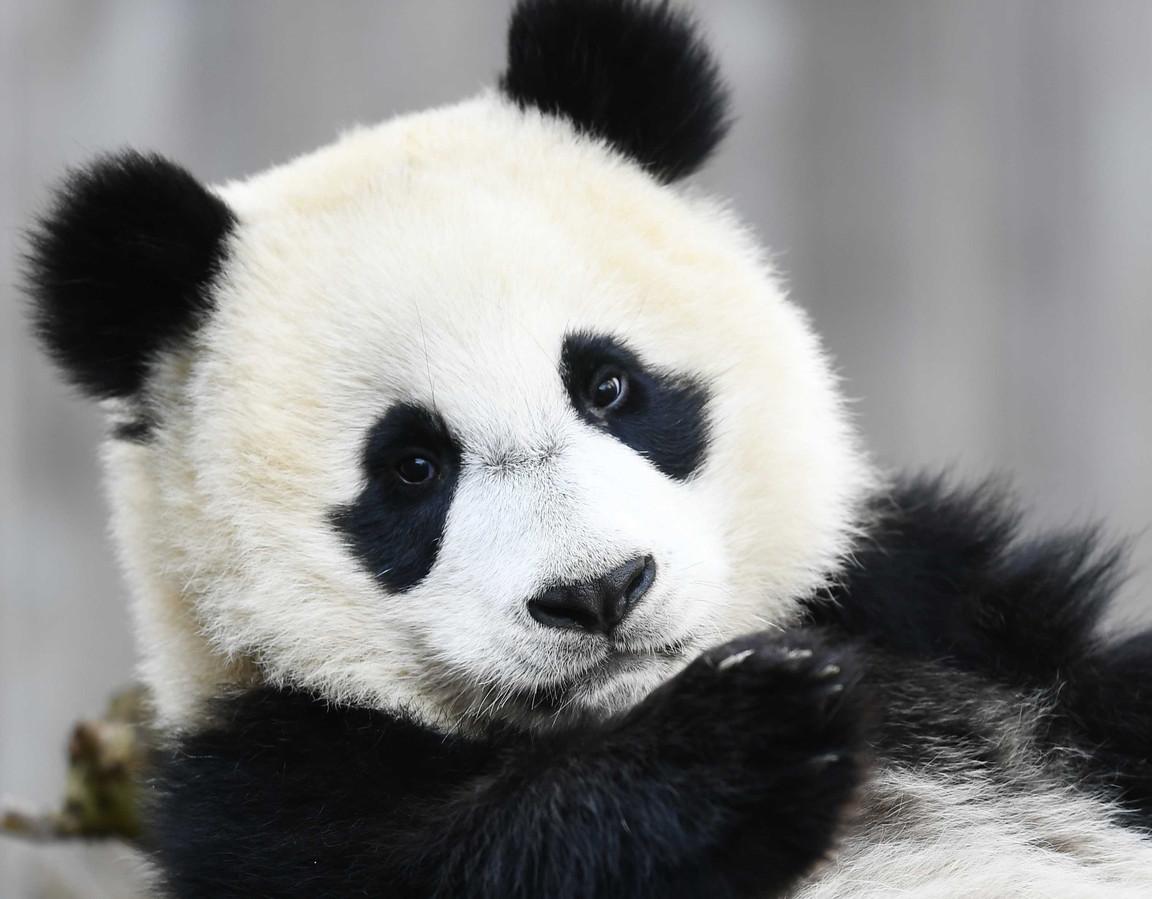 De panda's van Ouwehands Dierenpark zijn hoogstwaarschijnlijk vanaf volgende week weer te bewonderen.