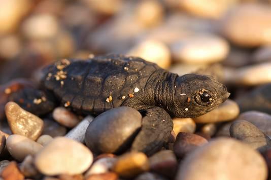 Een onechte karetschildpad op een Turks strand. De dieren worden ernstig bedreigd door de opwarming van de aarde. De temperatuur van het zand waarin zeeschildpadden hun eieren leggen bepaalt of er een mannetje of een vrouwtje uit het ei kruipt. Mannelijke jongen komen uit de dieper en koeler gelegen eieren. Hogere temperaturen kunnen als gevolg hebben dat er alleen maar vrouwtjes worden geboren, of erger nog, dat geen enkel ei uitkomt.