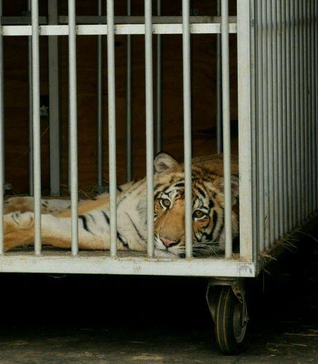 Vermiste tijger na bijna week zoeken eindelijk gevonden in Houston