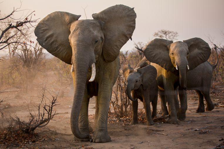 Een groepje olifanten in het Nationaal Park Gonarezhou in het zuidoosten van Zimbabwe.  Beeld Julius Schrank