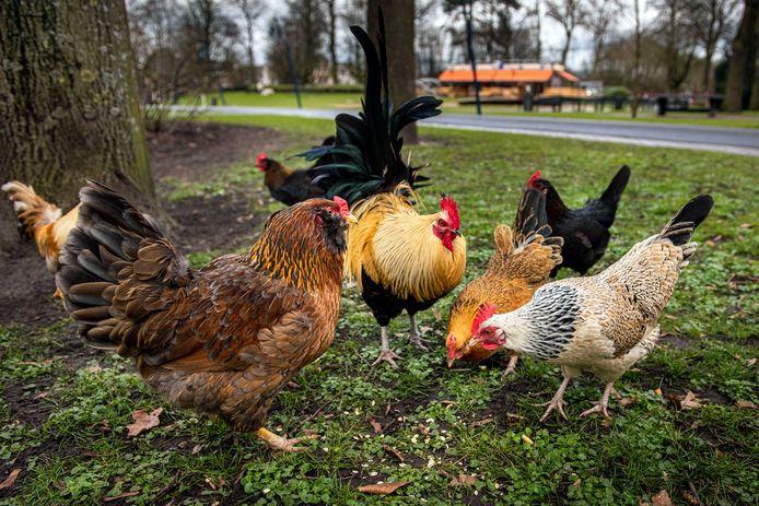 Beeld ter illustratie: een groep kippen in een park in Breda.