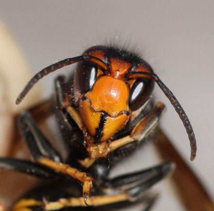 De Aziatische hoornaar zet zijn opmars verder.