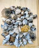 Het strand van Nieuw-Haamstede heeft een fijne collectie schelpen prijsgegeven.