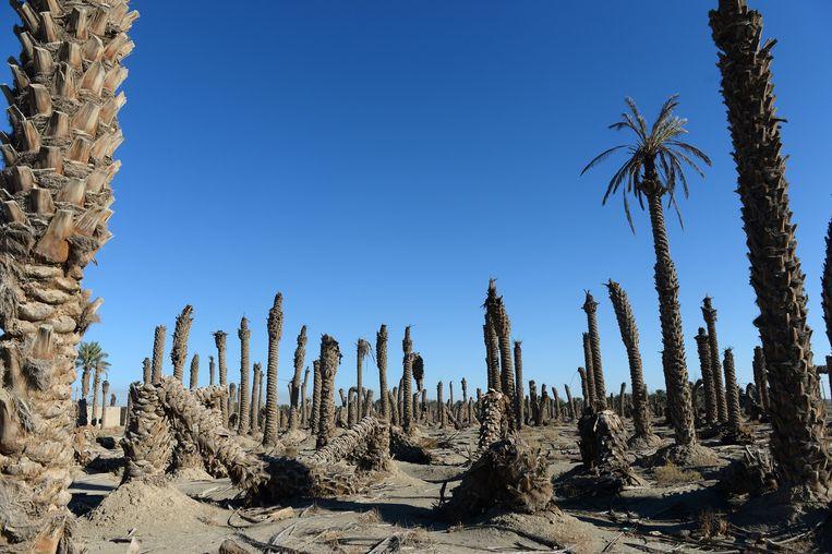 Dode dadelpalmen in de provincie Kerman.  Beeld Getty Images
