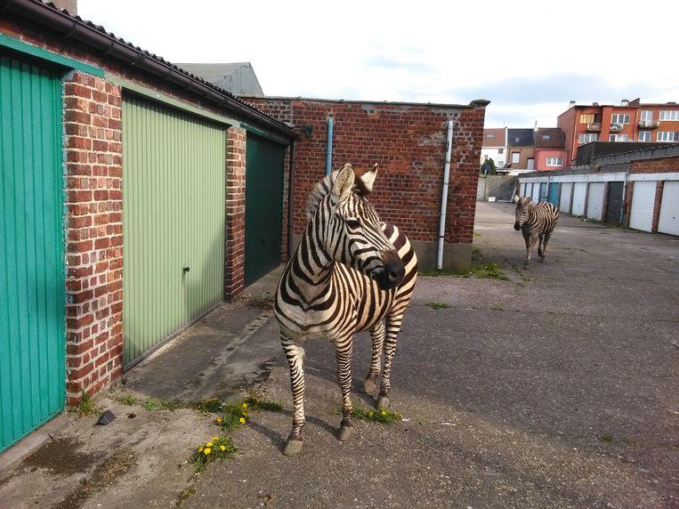 Drie jaar geleden ontsnapten drie zebra's uit de ranch en zetten Vilvoorde centrum op stelten.