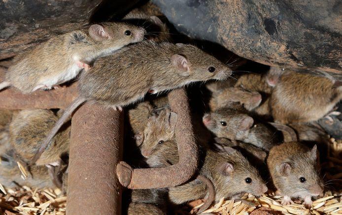 Muizen op een boerderij nabij Tottenham, Australië.