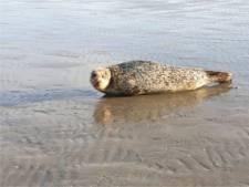 Uitkijken op strand IJmuiden: zeehond Bob gaat in de aanval