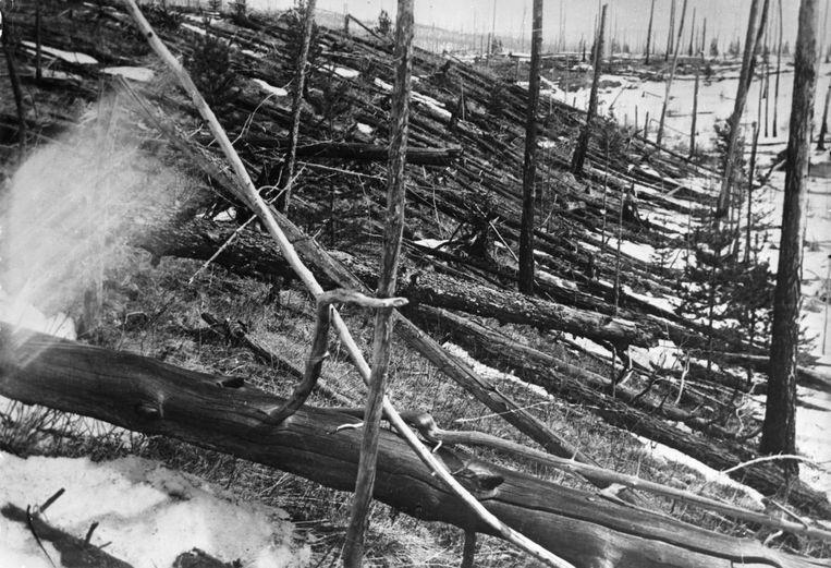 Door een ruimterots in 1908 gevelde bomen bij de Stenige Toengoeska in Siberië. De foto is genomen in 1929. Beeld Getty