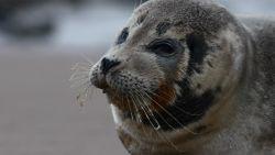 Zeehondje rust uit op strand Oostende