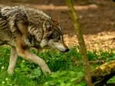 Une louve tuée sur une route provinciale aux Pays-Bas