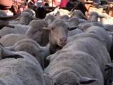 Duizenden schapen drentelen door het centrum van Madrid