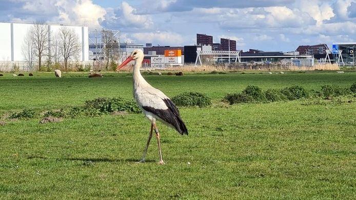 Een ooievaar heeft de Haagse brandweer en medewerkers van een afvalverwerkingsbedrijf flink beziggehouden. Drie dagen lang zat de vogel vast in een verwerkingsloods zonder de uitgang te kunnen vinden.