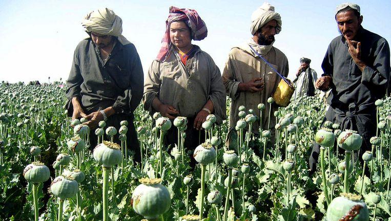 Afghaanse boeren aan het werk op een papaverveld. Papaver wordt gebruikt voor de productie van heroïne.