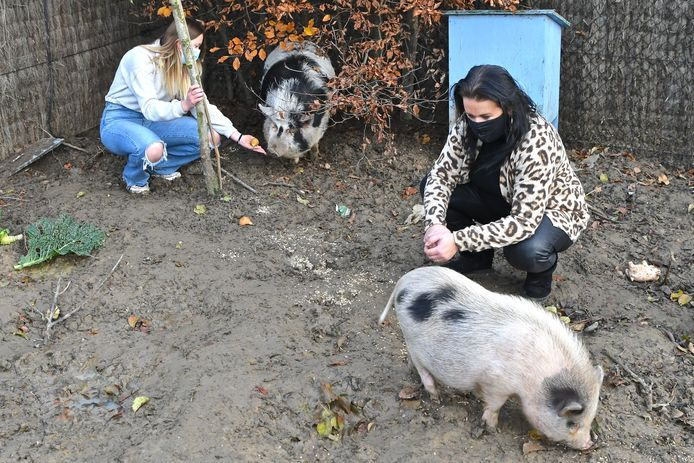 Babette (of Julia) zien we in het hoekje, Romeo in de voorgrond. Veel dichter komen de varkens voorlopig niet in elkaars buurt.