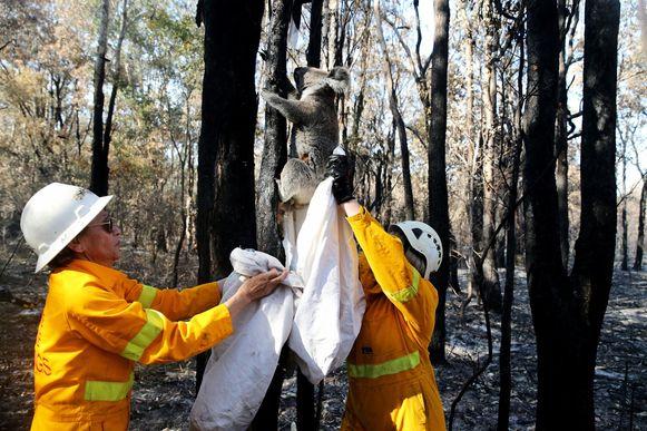 Deze gewonde koala kon gered worden door hulpverleners.