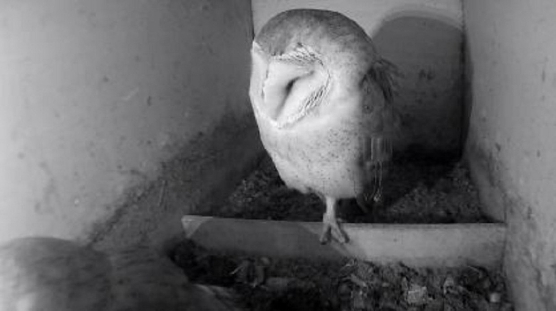 Webcam van de kerkuil.